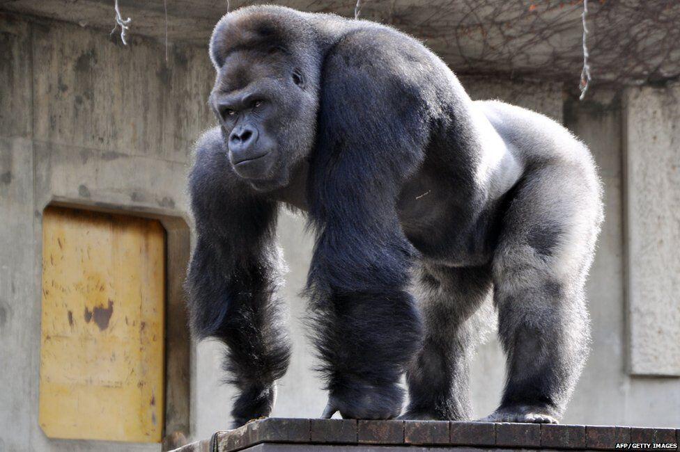 Kisah 'MIKE TYSON vs GORILLA RAKSASA' Di Kebun Binatang Tawarkan Rp.141 Juta!