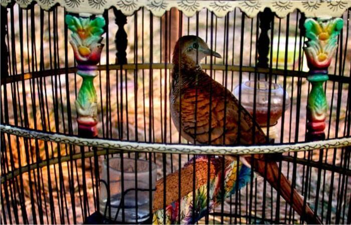 Mitos Burung Perkutut Dalam Tradisi Jawa Kuno