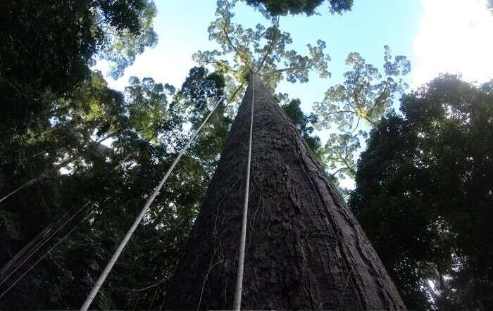Menara, pohon tropis tertinggi di dunia