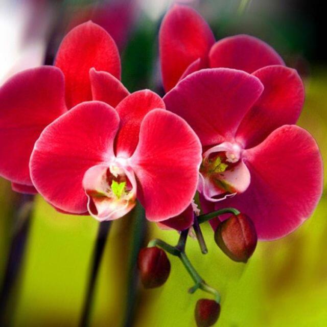 Apakah Kalian Tahu Makna Yang Terkandung Dalam Bunga Anggrek ?