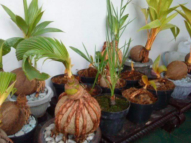 Membuat bonsai kepala persis membuat bonsai cinta, seperti apa?