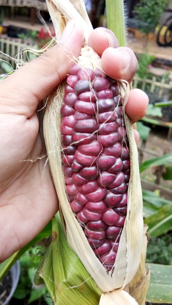 Jagung ungu yang kaya manfaat