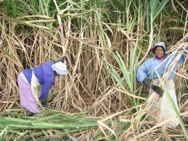 Petani Gula Tuntut HPP Naik, Pemerintah Diminta Tekan Biaya Produksi