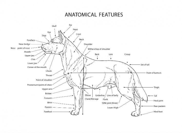 Kintamani, Jenis Anjing Indonesia Pertama yang Diakui secara Internasional