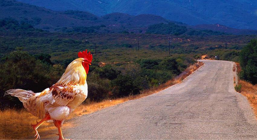 Kenapa Ayam Gak Menyebrang Jalan Raya? Ini Jawabannya Secara Ilmiah!