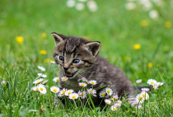 Distemper, Penyakit Pencernaan yang Mematikan Pada Kucing