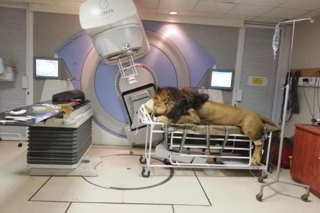 Singa Ini Jalani Terapi Layaknya Manusia, Kanker Kulit Penyebabnya !