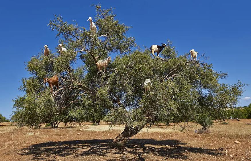 Kisah Mengenaskan Di Balik Fenomena Pohon Kambing di Maroko