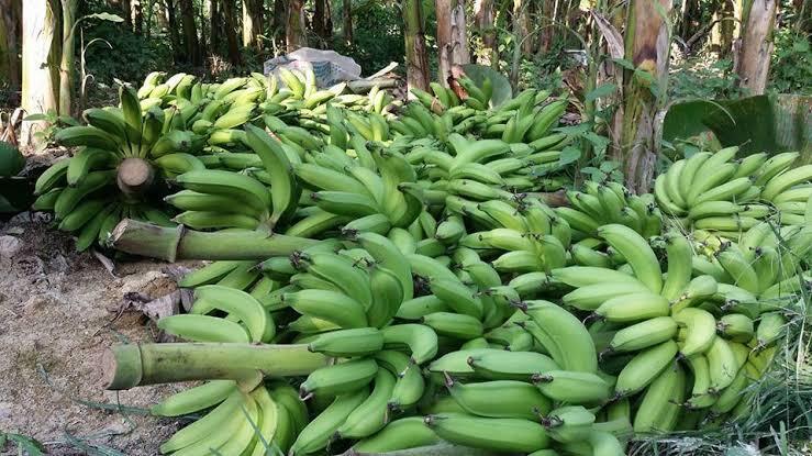 kerjasama usaha lantak pisang