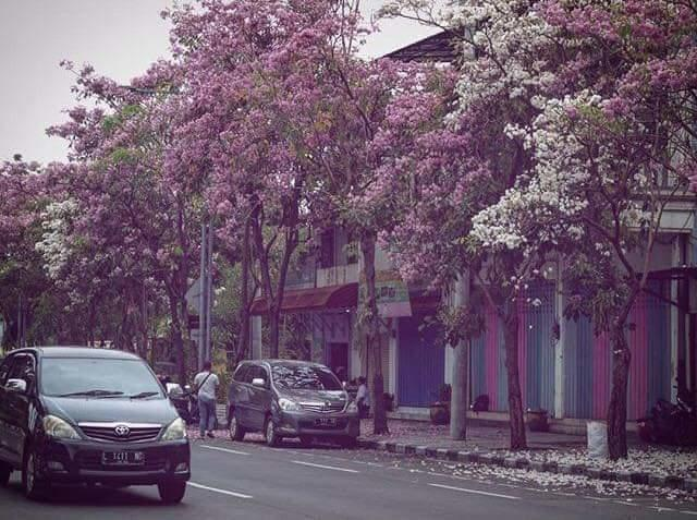 Ada Bunga Sakura Di Surabaya! Bikin Baper!
