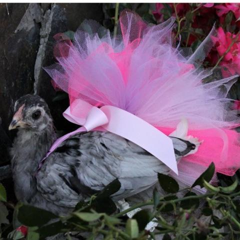 Pampered Poultry! Bisnis Popok Khusus Ayam Dengan Omzet Keuntungan 712 Juta