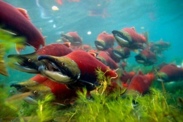 Unduh 93 Koleksi Gambar Ikan Salmon Bermigrasi HD Gratis