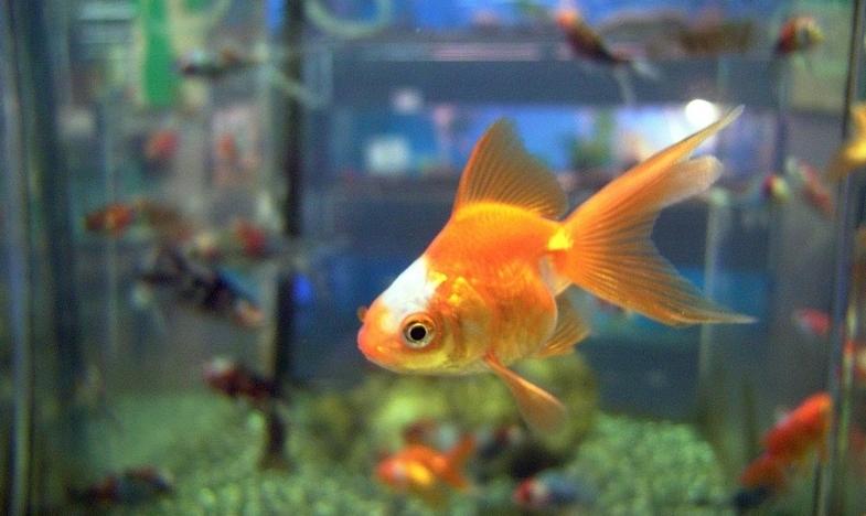 Perhatikan Ini Jika Agan Sista Ingin Memelihara Ikan Mas Hias
