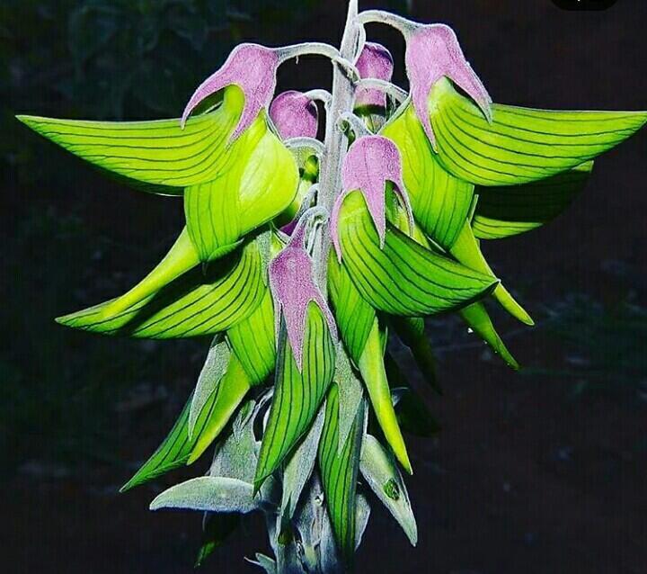 Bunga Ini Mirip Burung Loh