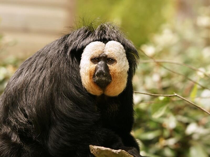 Monyet-Monyet Paling Unik Yang Hidup di Seluruh Dunia