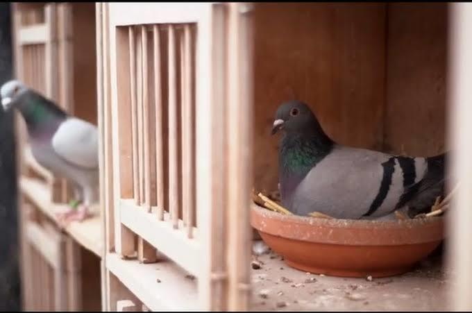 Burung Merpati Balap Harga Milliaran, Kok Bisa ?