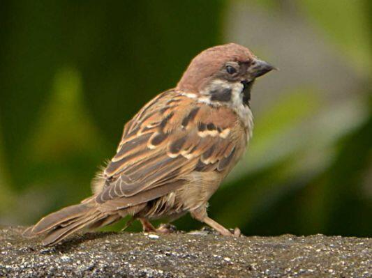44 Gambar Hewan Burung Pipit HD Terbaru