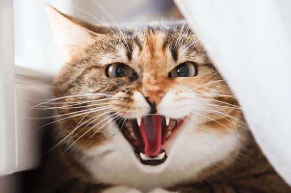 Kucing Peliharaan Terus Mengeong? Mungkin Ini Sebabnya Gan!