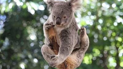Selain Tukang Molor, Ini Fakta Unik Lain Koala yang Tak Diketahui Jan Ethes