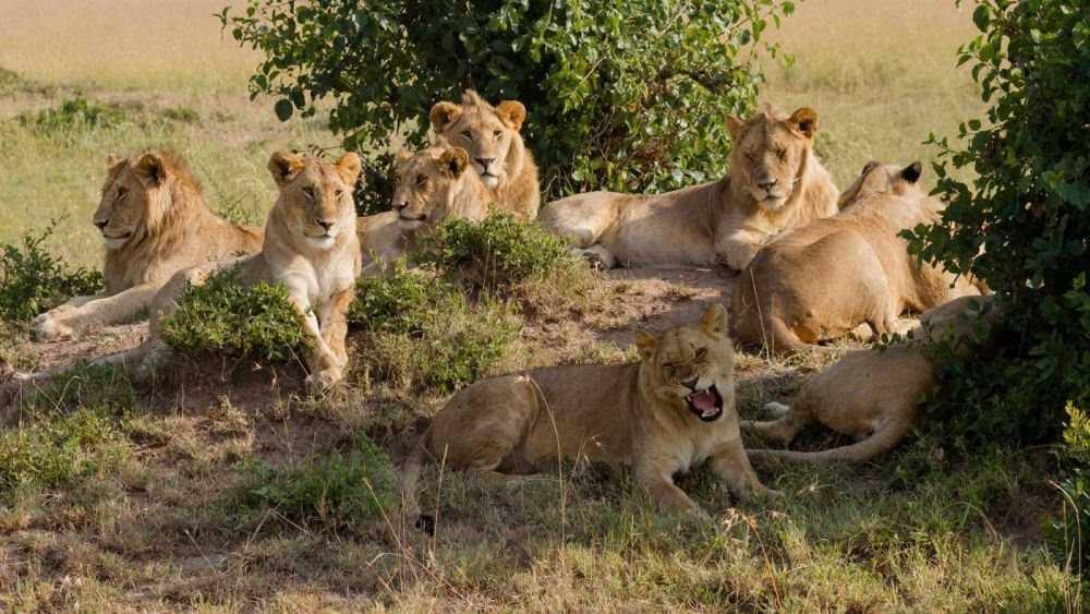 5 Fakta Kehidupan Nyata Singa, Berbeda Dengan Lion King