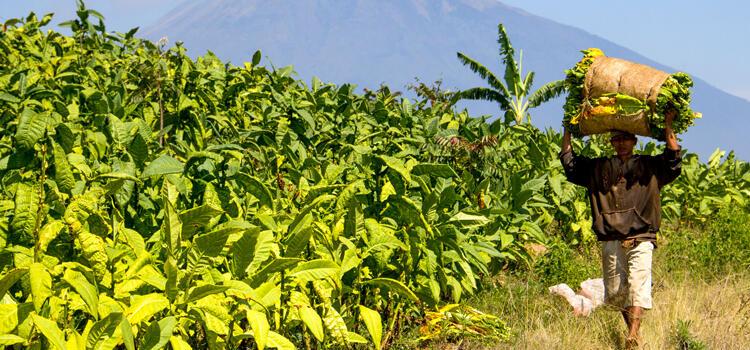 Petani Tembako