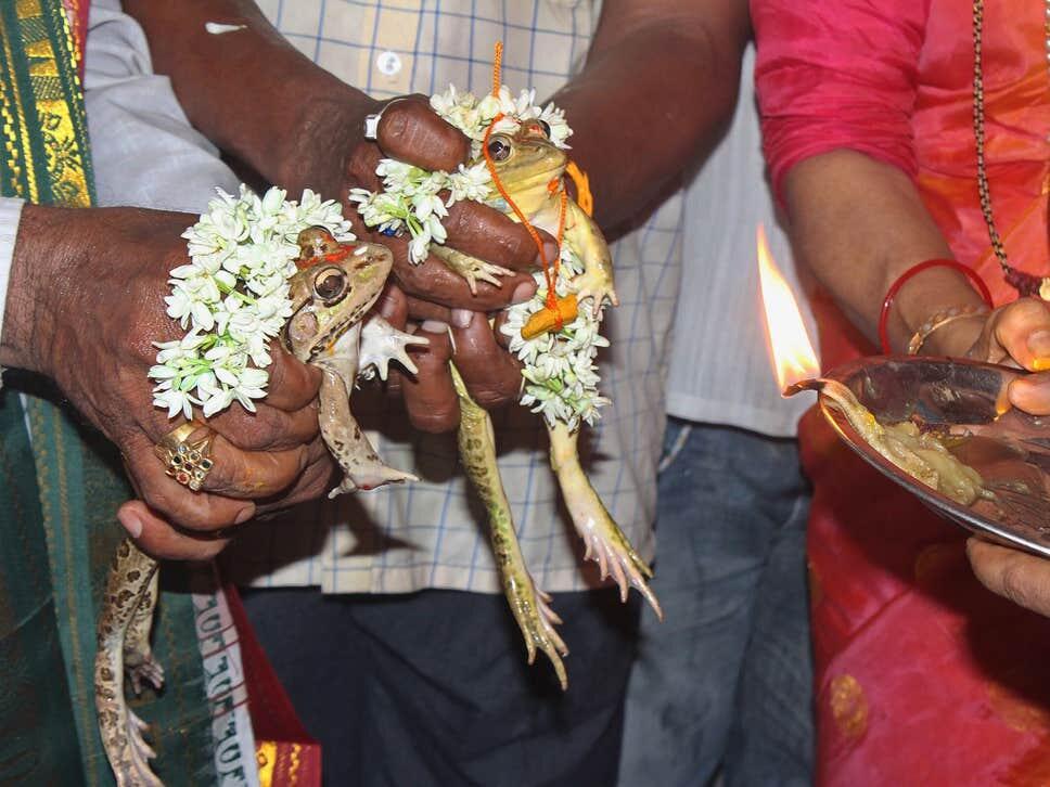Aneh tapi Nyata. Pernikahan Kodok di India, di Hadiri Ratusan Tamu