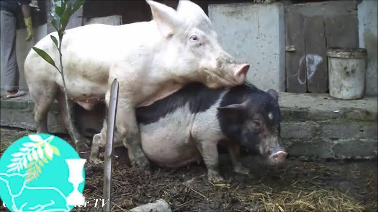 Ditabrak dari Belakang, Truk Pengangkut Babi Terguling di Medan