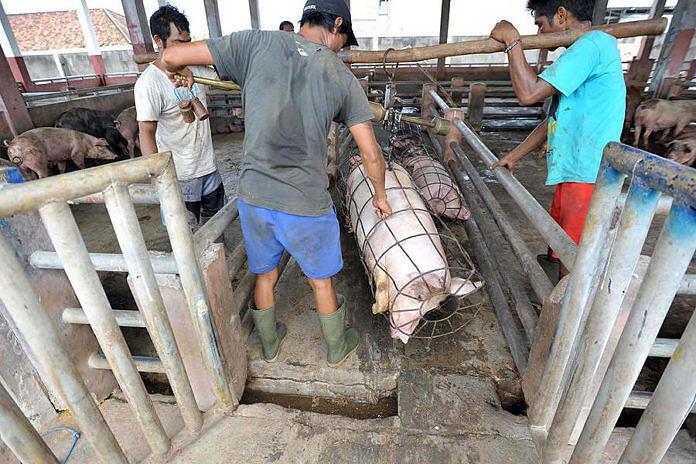 Masyarakat Diimbau Cek Kesehatan Babi sebelum Disembelih