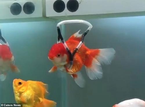 Kursi Roda untuk Ikan, Kok Bisa ya Gansis?