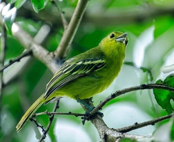 Jenis Burung Kebun Murah menjadi Mahal saat rajin Berkicau !!!