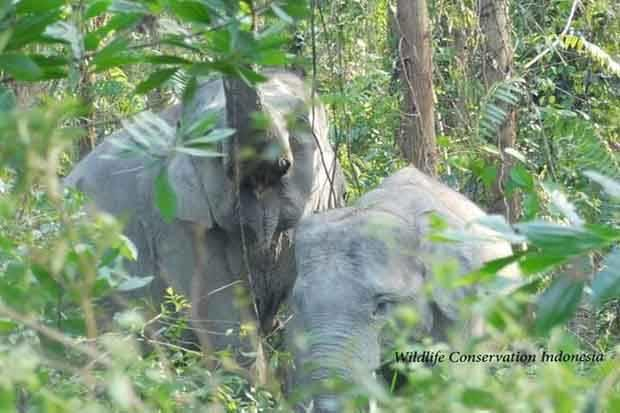 Kebakaran Lahan Picu Konflik Manusia dan Gajah di Riau