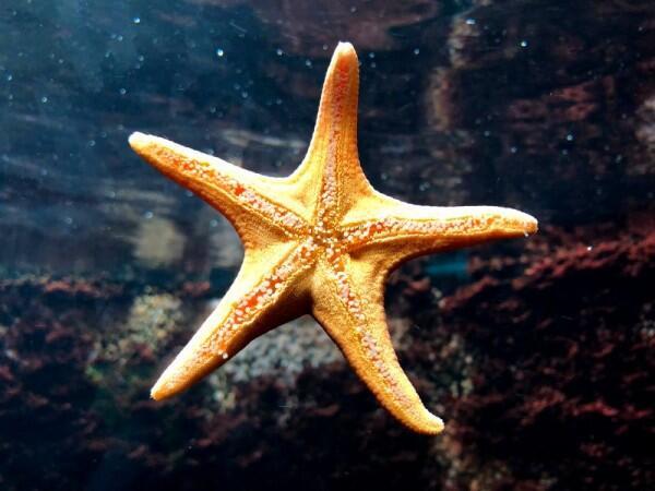 Tidak Memiliki Otak, Ini 7 Fakta Menakjubkan Tentang Bintang Laut