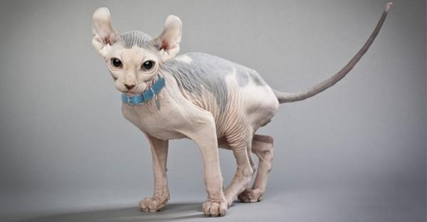 Inilah 10 Jenis Kucing Paling Mahal di Dunia, Mau Pelihara Mereka?