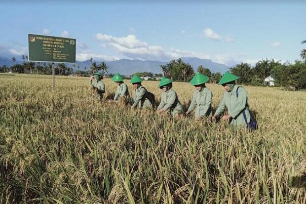 Ketika Ibu-Ibu Persit di Gorontalo Ikut Panen Padi