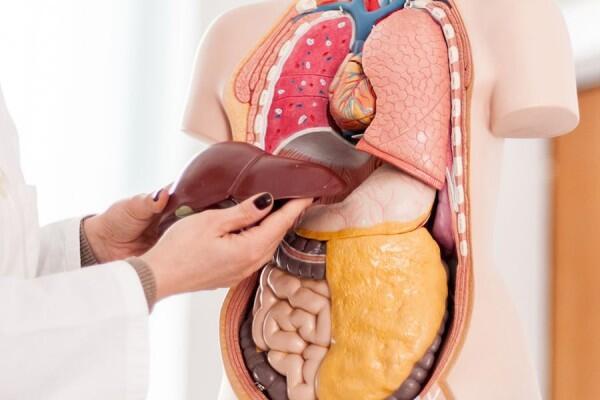 5 Fakta Menarik Organ Hati Manusia, Bisa Regenerasi Sendiri Lho