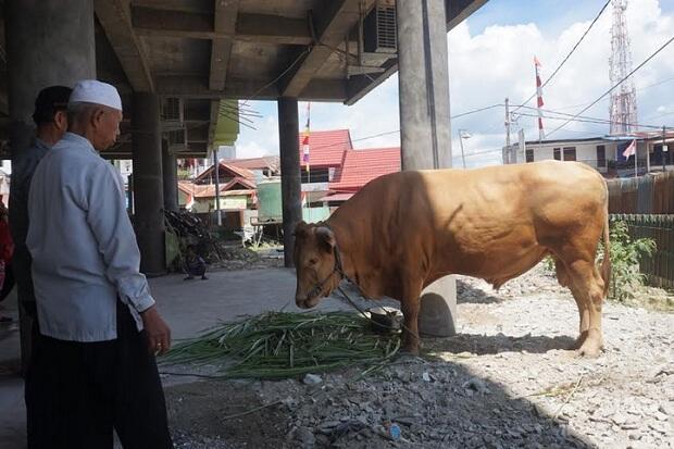 Presiden Jokowi Kurban Sapi Simental untuk Masjid di Jayapura