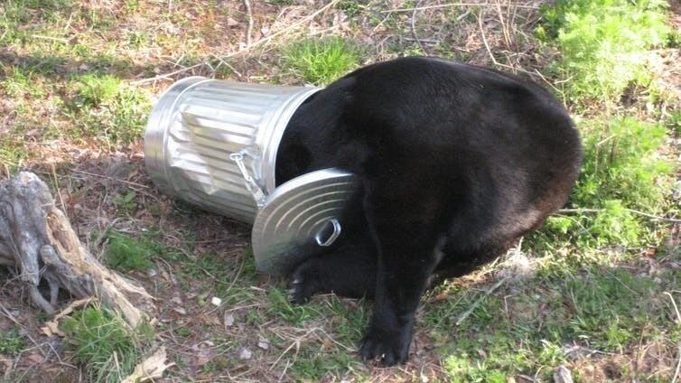 Waduh Beruang Hitam Di Negara Ini Semakin Sering Ke Pemukiman
