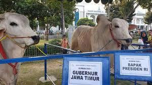 Mike Tyson Dan Black Sapi Qurban Mewah Di Indonesia
