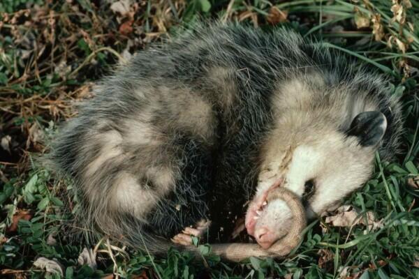7 Hewan yang Bisa Berpura-pura Mati, Jago Akting dan Unik Banget!