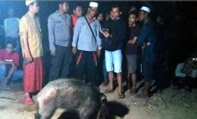 Babi Ngepet Tertangkap Warga Di Bawa Ke Kantor Polisi