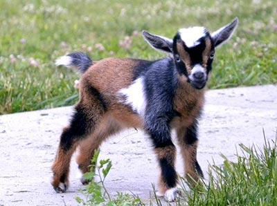 Mengenal Domba Kerdil Di Dunia, Udah Tahu Belum Gan?
