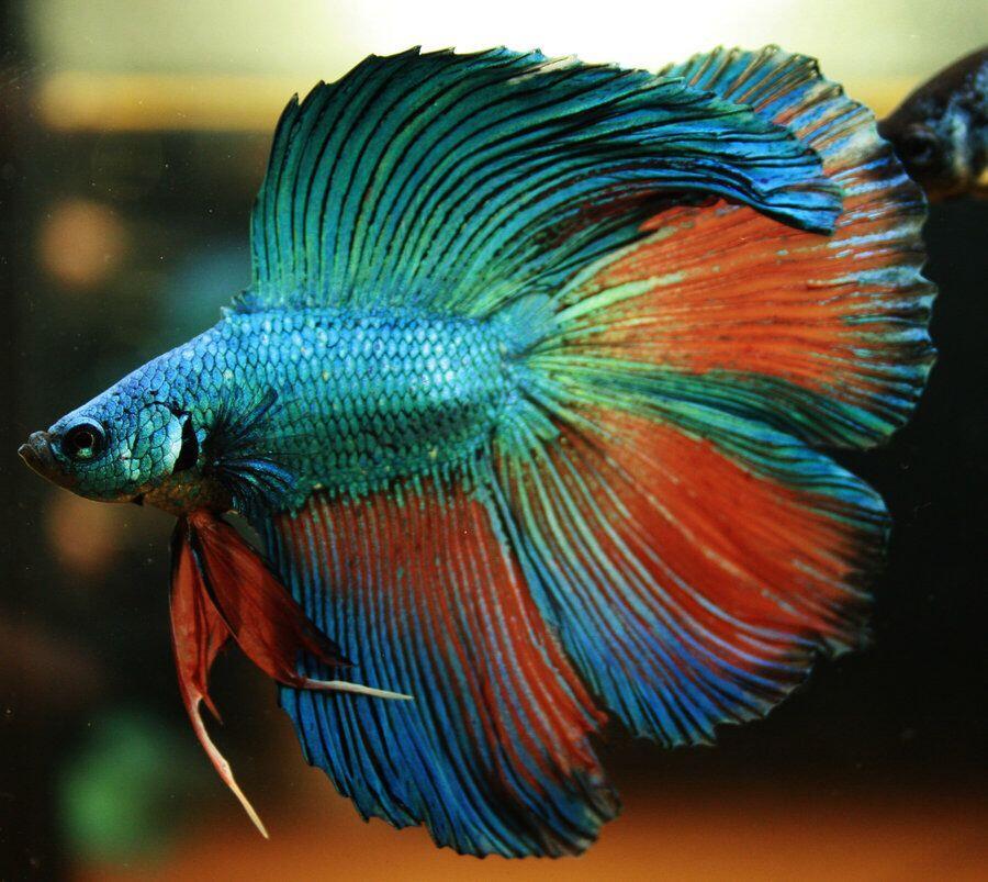 Kenali Yuk!! Ikan Cupang (Betta Sp.) Ikan Hias yang Cantik dan Buming Di Dunia