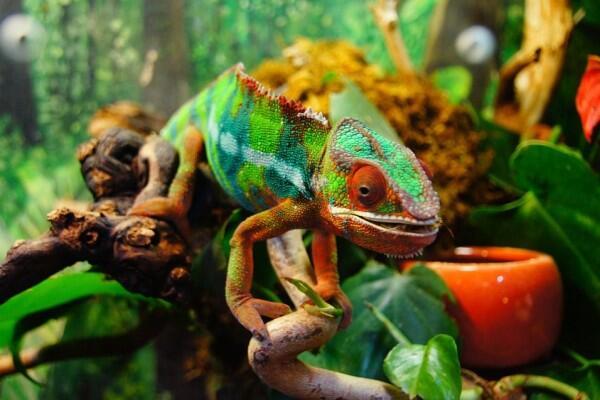5 Fakta Unik Bunglon, Hewan yang Bisa Gonta-ganti warna Kulit!