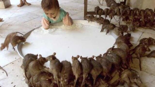 Susu Tikus Lebih Bergizi Dibanding Susu Lainnya Lho!