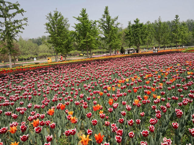 Indahnya di Kebun Raya Beijing, Ada Hamparan Bunga Tulip Juga!