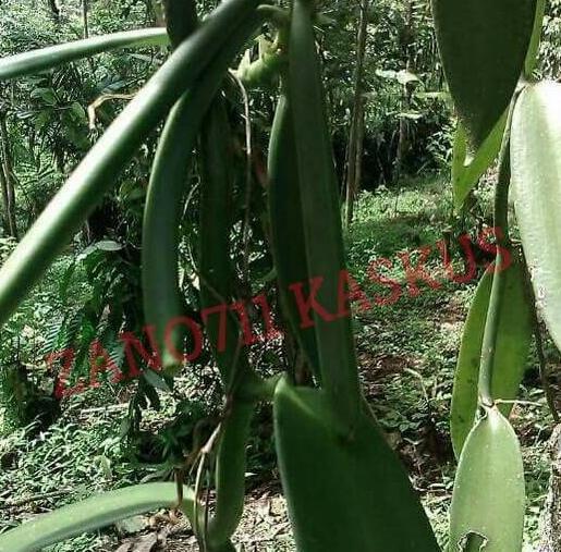 Tiap panen, tanaman ini bikin petani auto sultan #banggajadipetaniindonesia