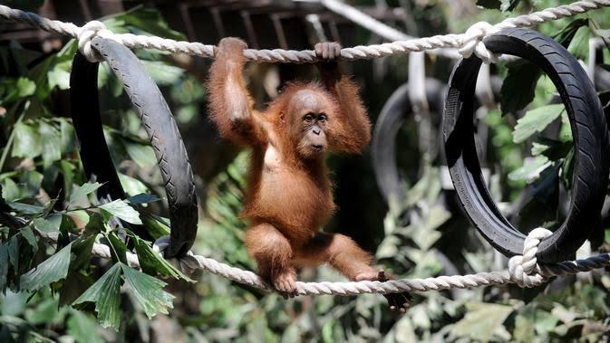 Belasan Orangutan di Kalteng Kena ISPA