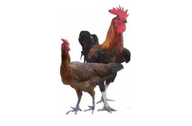 Fakta Jelek Ayam Kampung