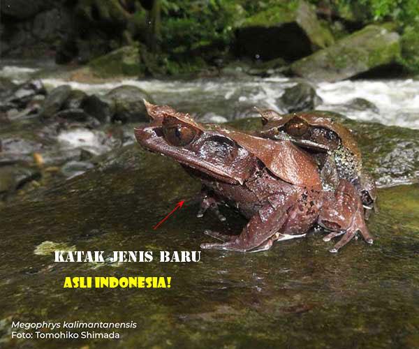 'Megophrys Kalimantanensis' Spesies Baru Katak Tanduk Asli Dari Kalimantan