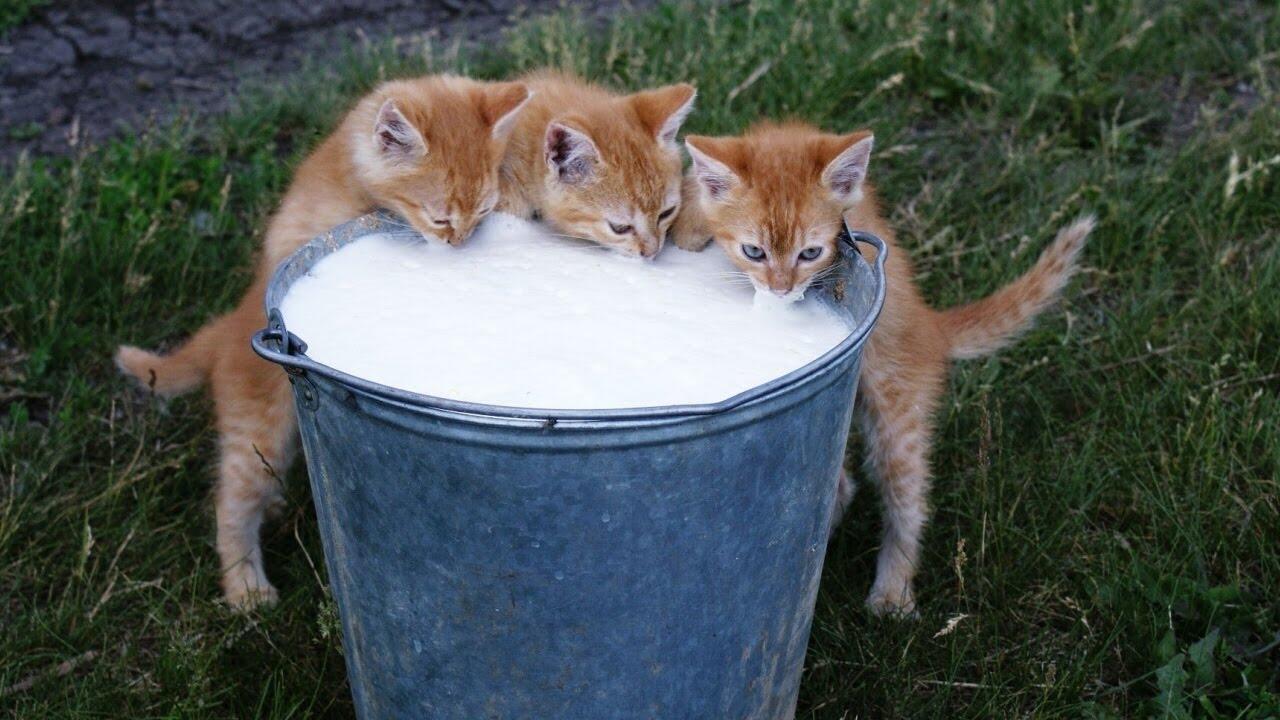 Jangan Asal Ngasih Gan, Susu Sapi Ternyata Bisa Bikin Gangguan Kesehatan Kucing
